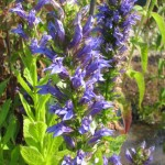 lobelia