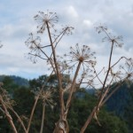 Dried angelica stalks