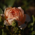 rose in bloom. Photo by Claire Bohman