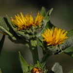 elecampane