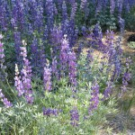 lupine